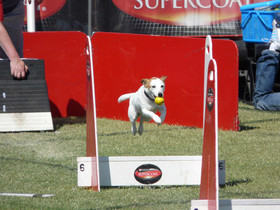 Honey, the very little Flyball dog