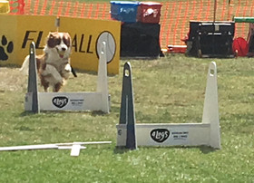 Winter Flyball Competition at Keilor