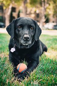 black_labrador_retriever_puppy_on_green_