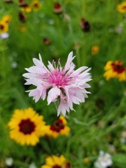 White & pink flower