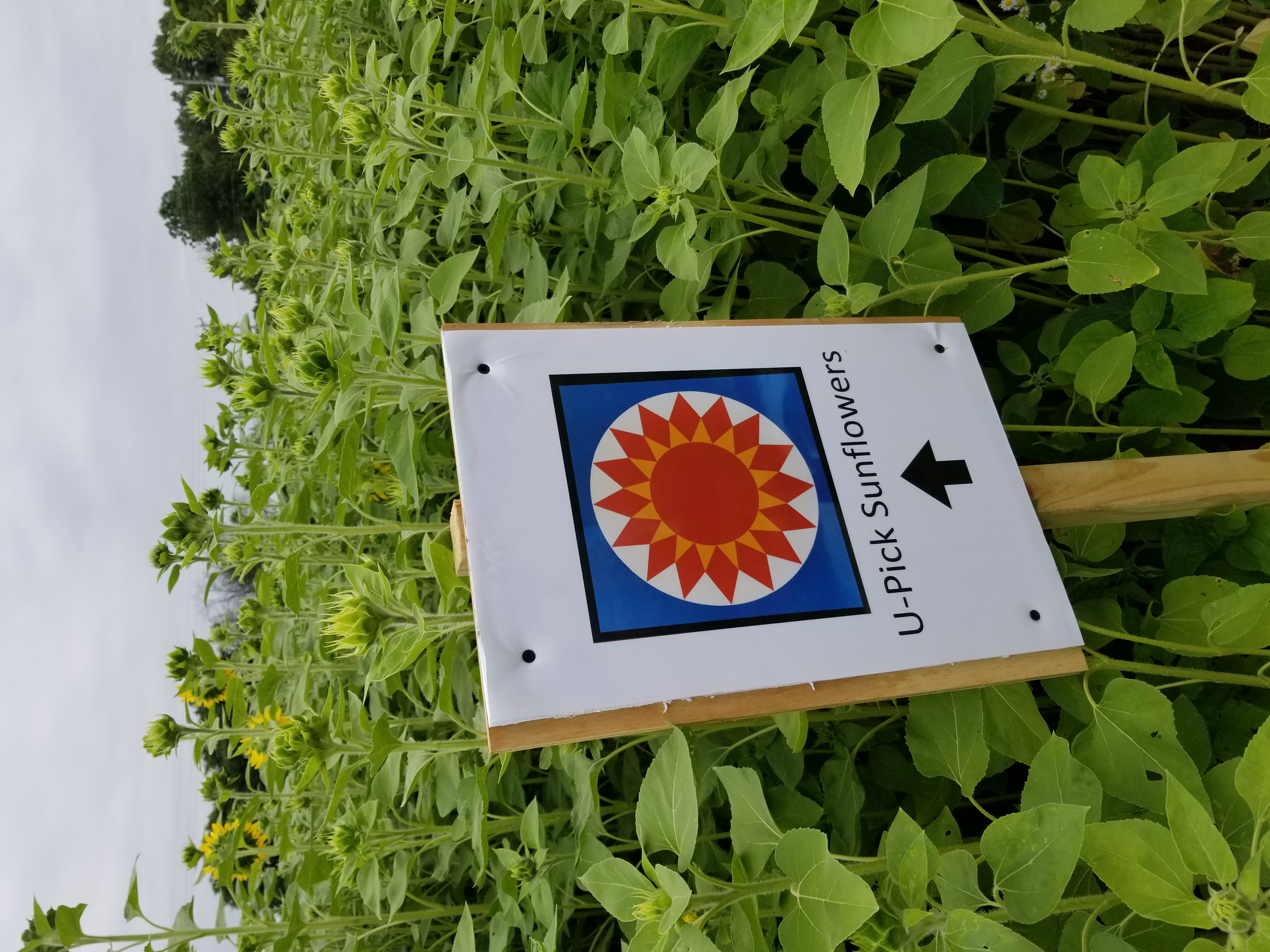 U-pick sunflower sign
