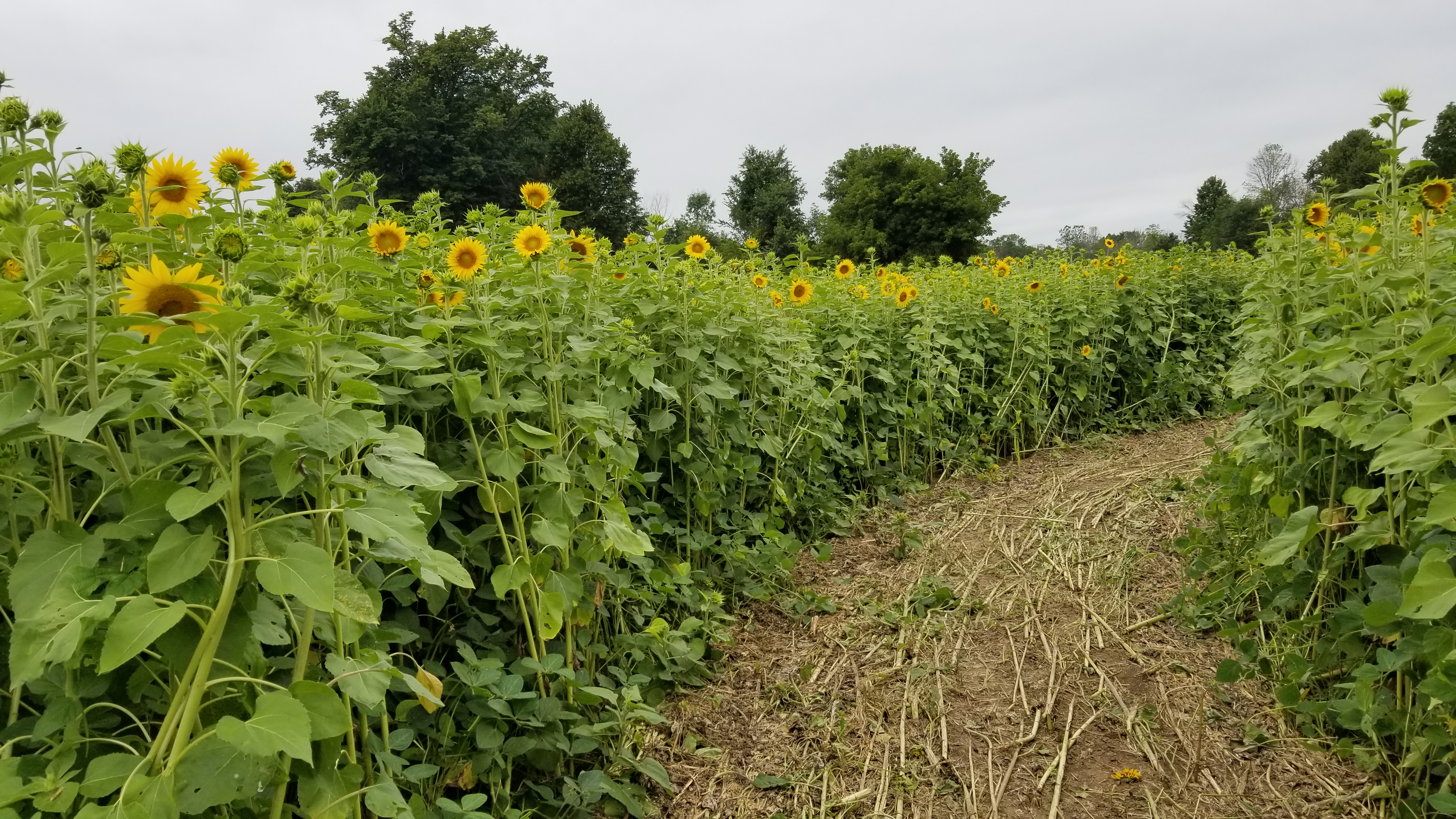 Sunflower patch maze