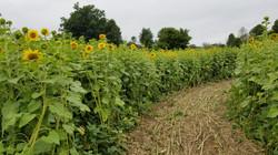 Sunflower patch maze