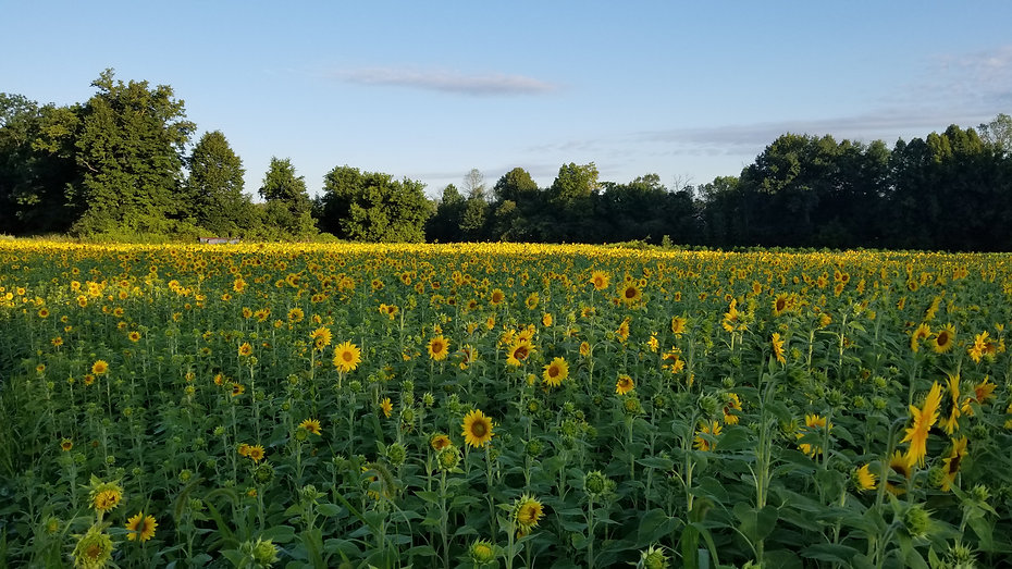 Sunflower field at Lannon Sunflower Farm