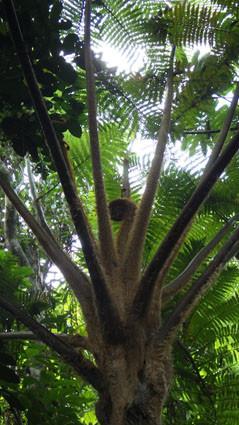 教育旅行 亜熱帯林実習 ヒカゲヘゴ