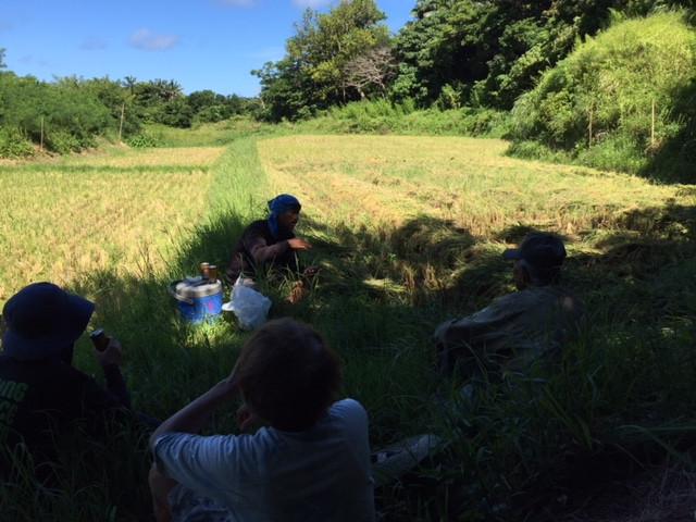西表島の稲刈り2018-3