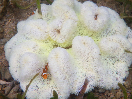 サンゴ白化情報発信プロジェクトのサイトがオープンしました