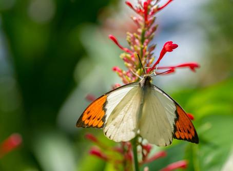 鮮やかなオレンジ色が目立つモンシロチョウの仲間・ツマベニチョウ