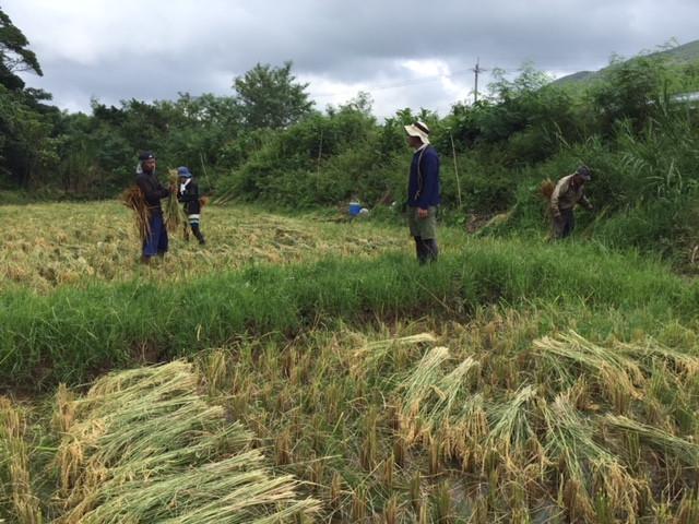 西表島の稲刈り2018-2