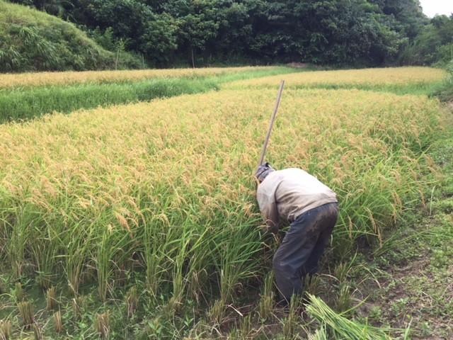 西表島の稲刈り2018-1
