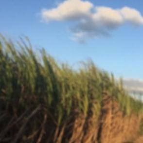 Harvest time #cane #brazil #soul #natura