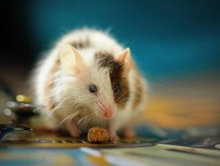 Científicos de dos universidades estadounidenses logran erradicar el cáncer con metástasis en ratone