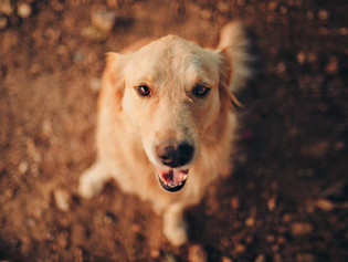 Zoológico chino intenta hacer pasar a un perro Golden por un león