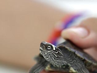 Condenan a 3 años de prisión a policía por trafico de tortugas de Galápagos