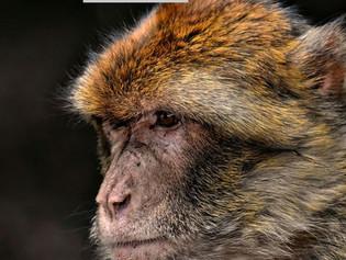 Un macaco viaja 22 kilómetros en 'busca de venganza' contra habitantes de una aldea