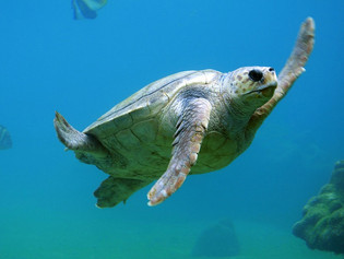 Mueren 10 personas tras consumir carne de tortuga marina
