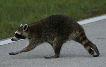 Racoon_crossing_road.JPG