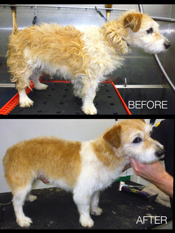 Wire haired Jack Russell