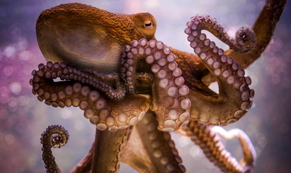 KW Octopus