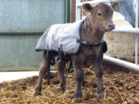 Calving time on the farm