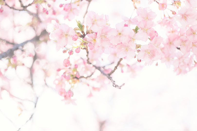 cherry-blossom-tree-overlay.png