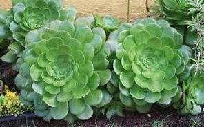 aeonium canariensis.jpg