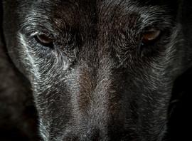 le chien loup - Reunion - vincentvibert.com