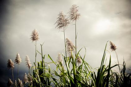 fleurs de canne 3