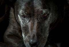 le chien loup 2 - Reunion - vincentvibert.com