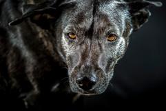 le chien loup 3 - Reunion - vincentvibert.com