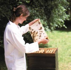 Fleisige Imker prüfen die Waben