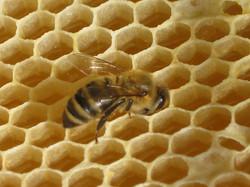 Fleißige Biene lagert Honig ein