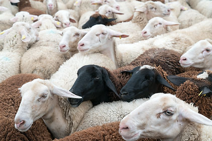 sheep of all colors.jpg