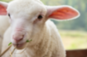 lamb picture.png