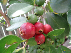 goyave-fraise-psidium-cattleianum-visofl