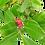 Thumbnail: Boucles d'oreilles goyaviers simples