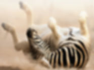 Photo of a zebra, the mascot for rare disease patients