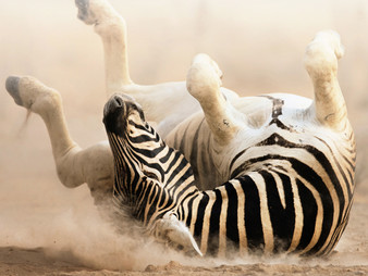 They Aren't Looking For Us, But We ARE the Zebras