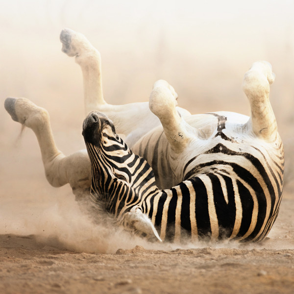 Zebra rolling on ground with feet up