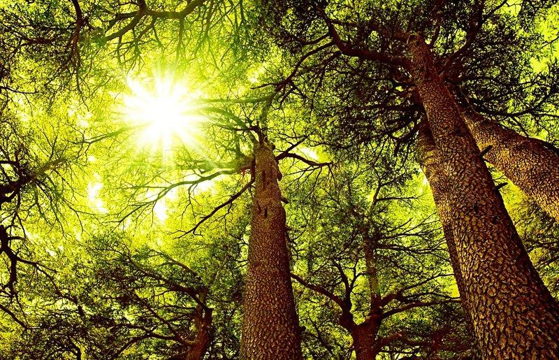 sunny-cedar-forest.jpg