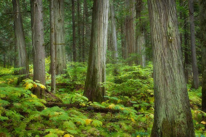 Cedar trees.jpeg