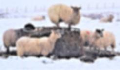 Sheep climbing (3).jpg