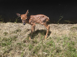 Newborn Fawn just learning to stand