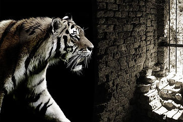 tiger-2331336__480.jpg