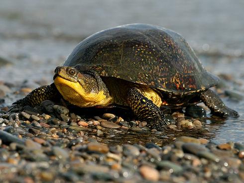 Blandings-Turtle-1.jpg