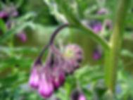 heilpflanze, symphytum, homöopathie