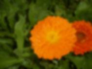 heilpflanze, homöopathie