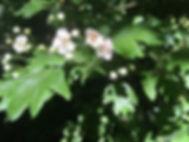 sträucher, heilpflanze, weissdorn, homöopathie, phytotherapie