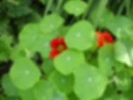 heilpflanze, kapuzinerkresse