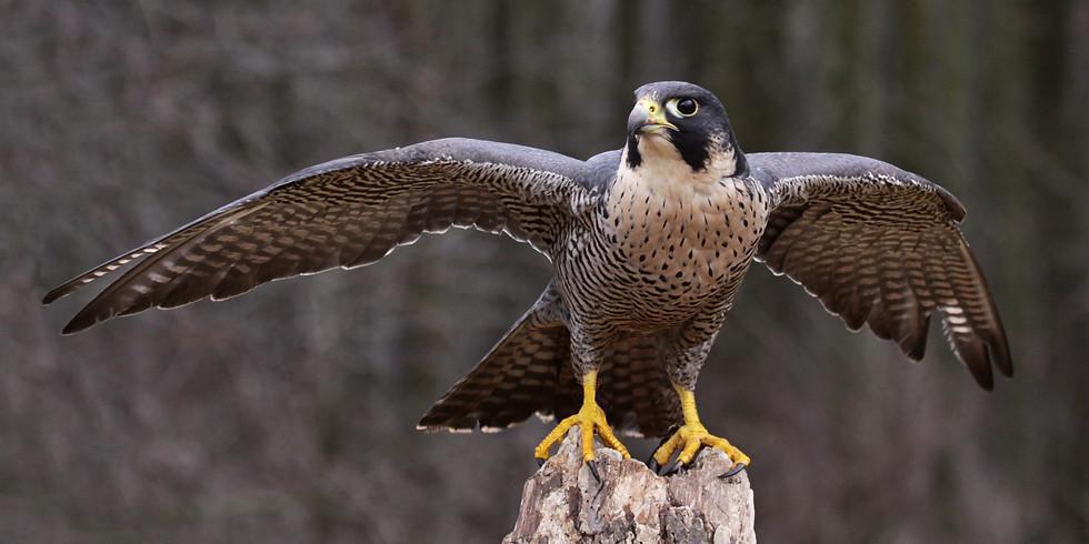 homöopathische Arzneimittel-Verreibung Pluma falco (Falkenfeder)